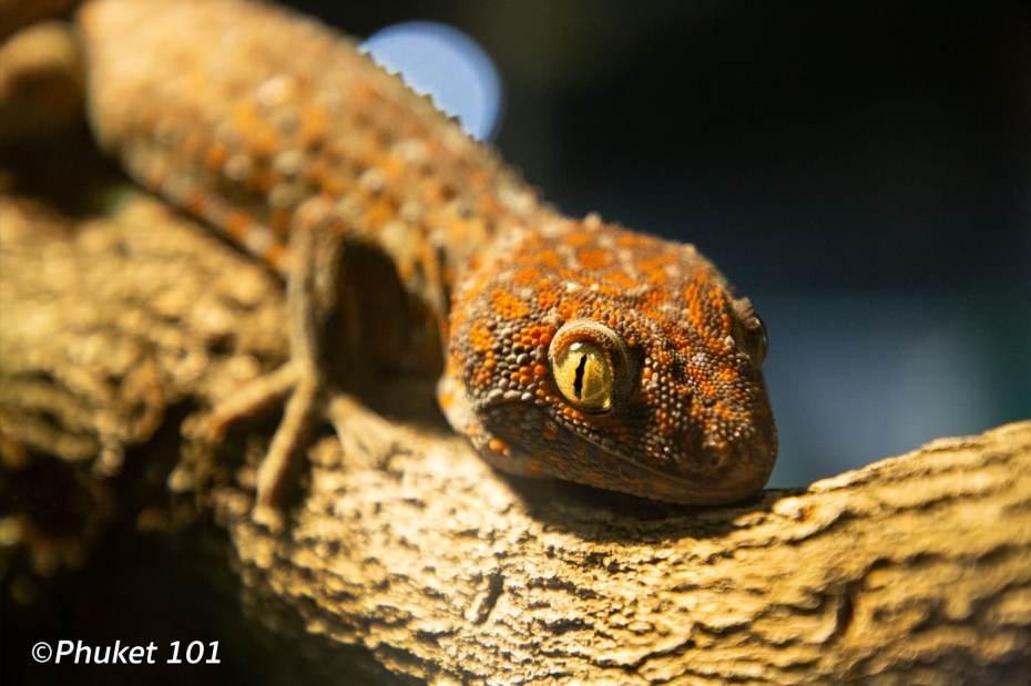 aquaria-gecko