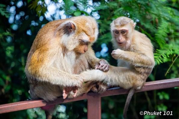 phuket-monkeys-hill