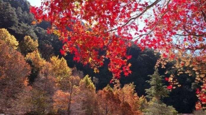 武陵農場楓葉