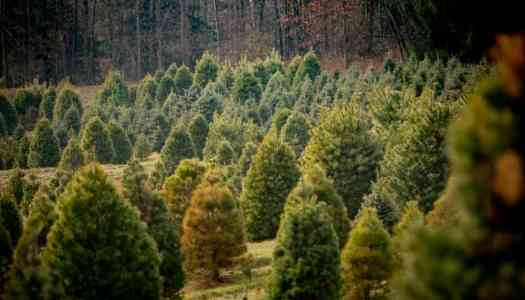 Christmas Tree Farm Ransacked