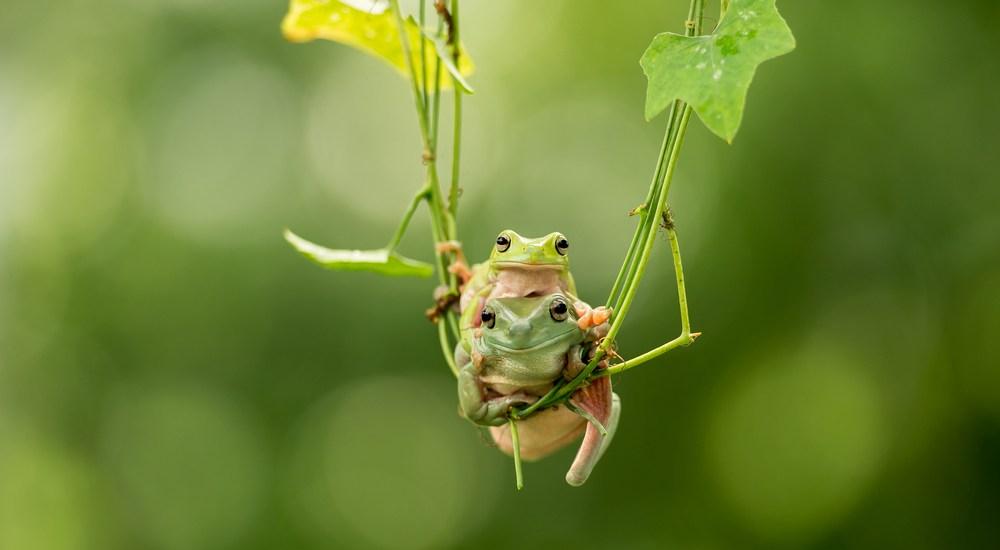 Frogs in Tree