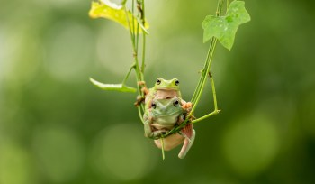 Frogs in Tree
