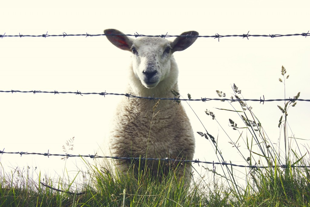 Contented Gypsy | Ireland Sheep