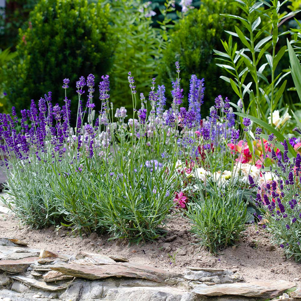 Grow Lavender In Your Herb Garden The Home Depot
