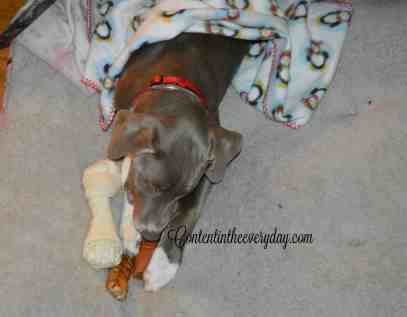 Dog Covered up with Blankets nawing on bone