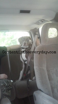 Dog Using a Seat Belt