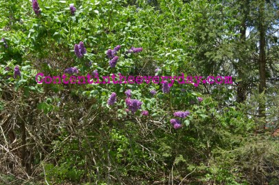Lilacs growing in brush