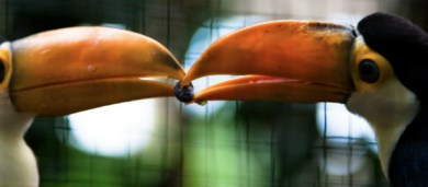 toucans sharing