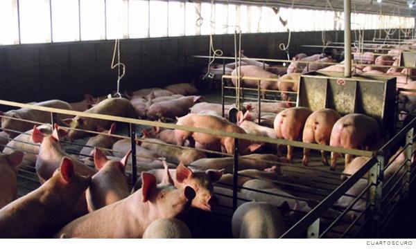granja porcina