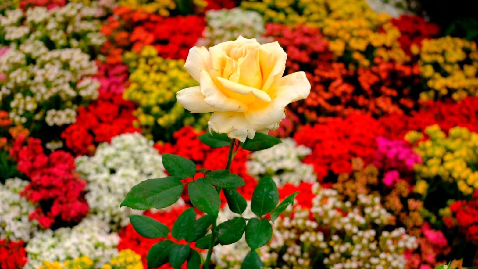 imagen de una rosa color naranja frente a un cargamento de flores