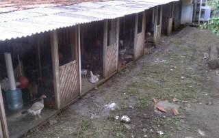 Um galinheiro no Alto da XV