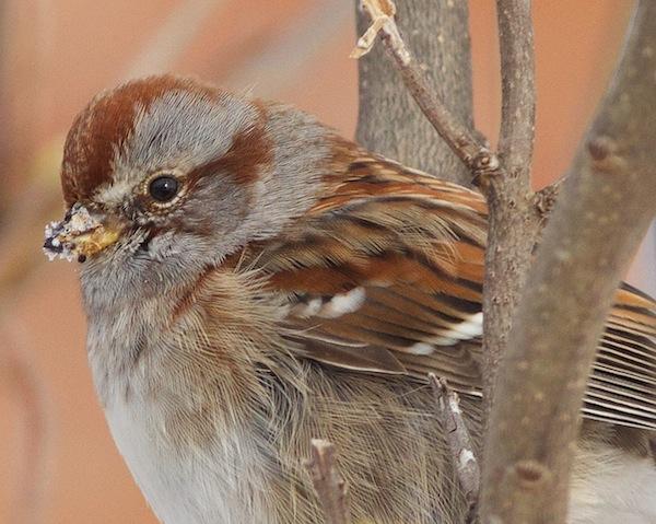 American Sparrow-600