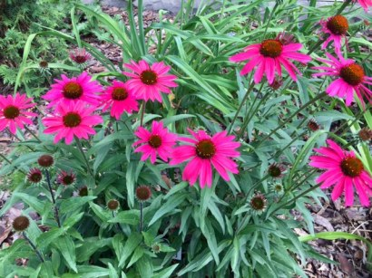Echinacea in the garden just waiting for a butterfly to visit!