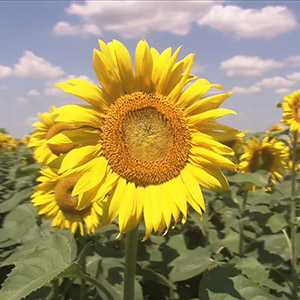 "Maize Research Institute ""Zemun Polje"" ""Yield for Pride"" - SUNFLOWER TV Commercial (2010)"
