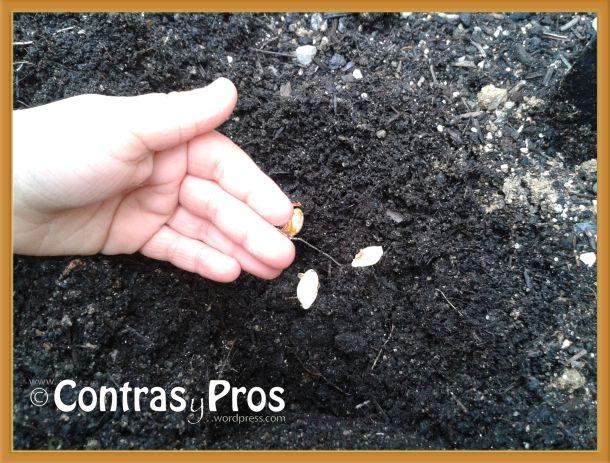 Plantando semillas de calabaza.