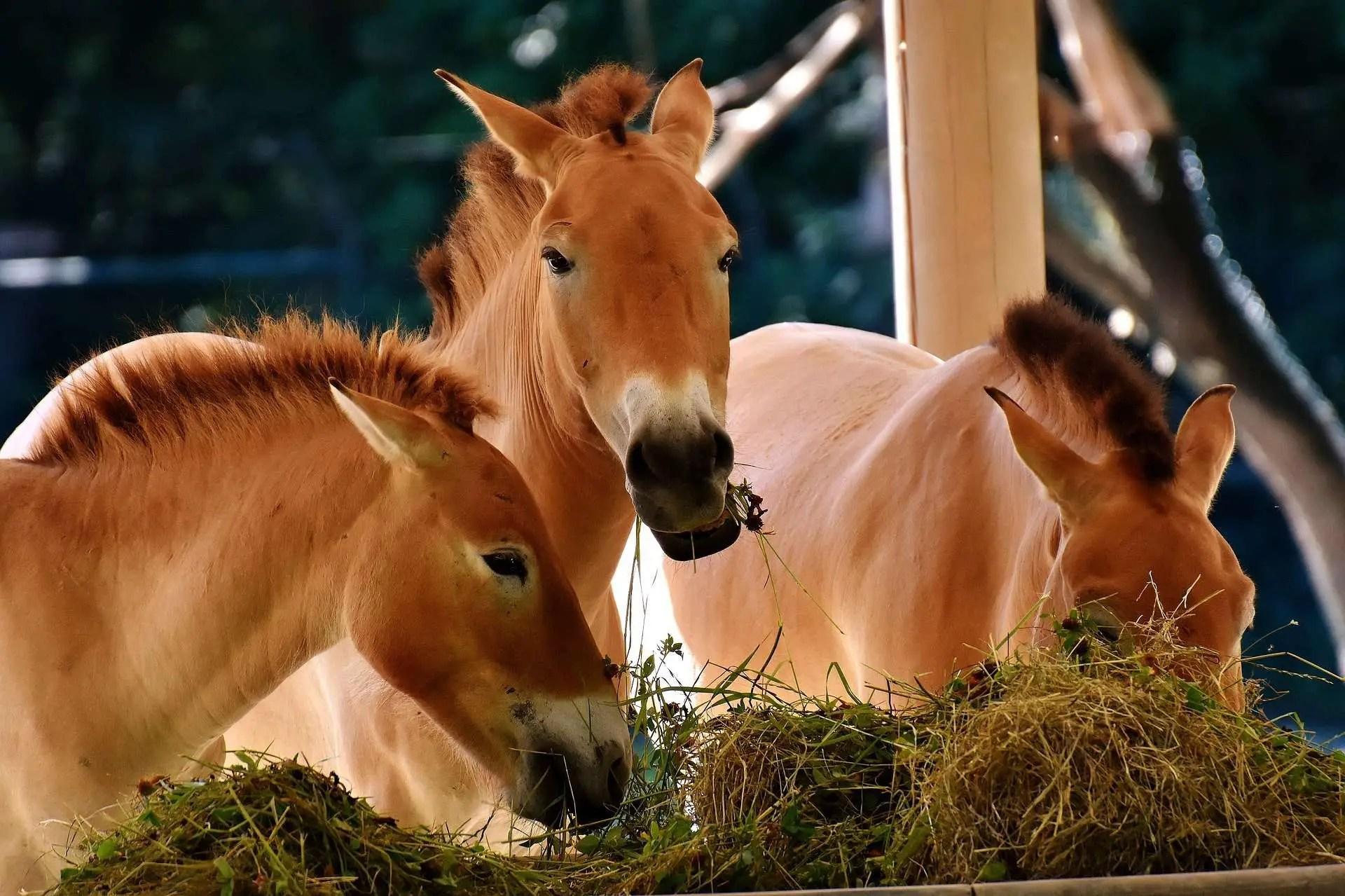 alimentation des chevaux