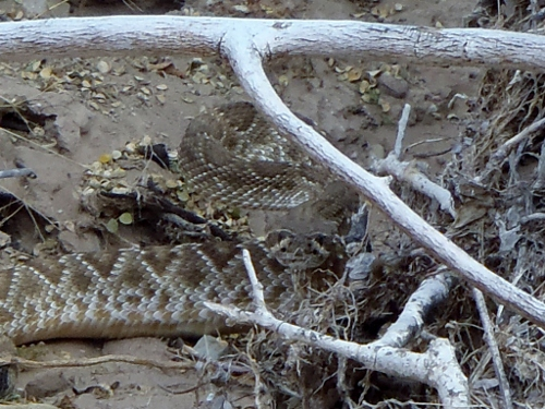 Rattlesnake Training: The Sequel