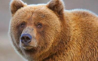 Alaska Brown Bear: Up Close And Personal