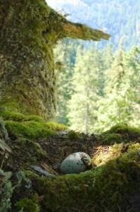 Murrelet Nest