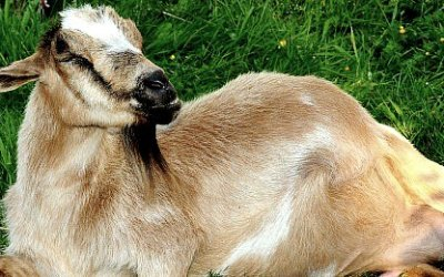 Pregnant Goat Countdown….Any Day Now