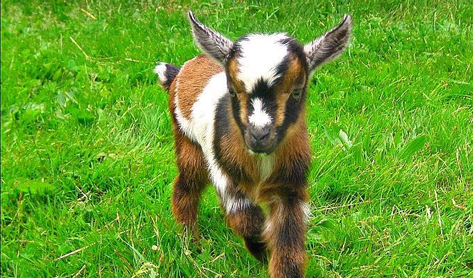 Still Waiting For Babies….Goat Babies