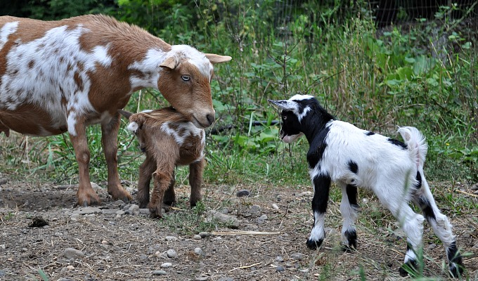 Goat_Stand_Off