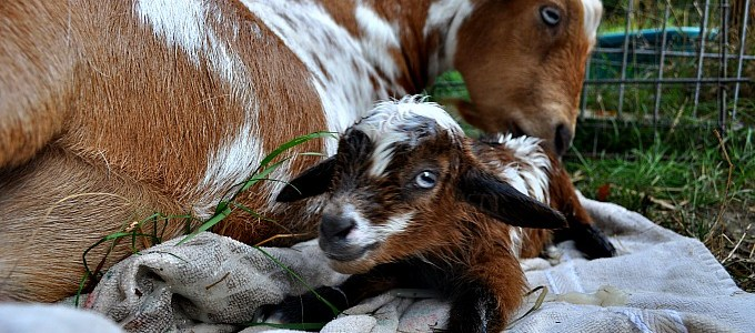 The Miracle of Birth….Goat Birth