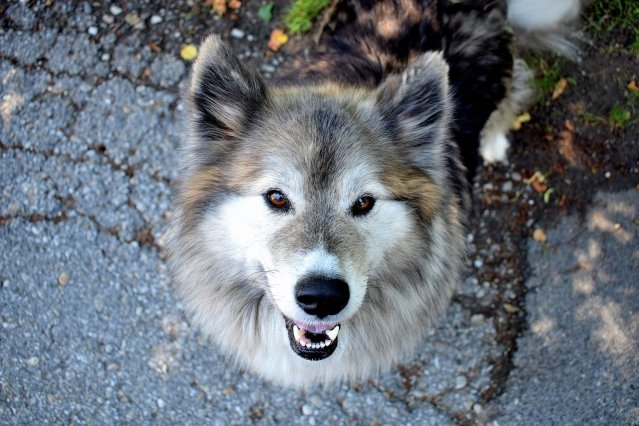 dog, animal, walk