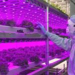 セブン&アイHDなど野菜工場公開 天候影響受けずレタス供給
