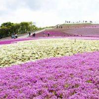 愛知県・茶臼山の芝桜「観てきたよ~!」見頃・開花時期 ...