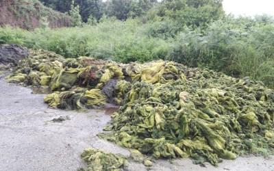 Intensificados los trabajos de eliminación de algas verdes en las marismas de Joyel