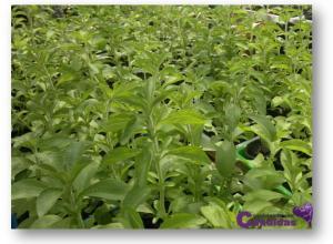 Stevia, edulcorante natural edulcorante natural sustitutos del azucar para candidiasis