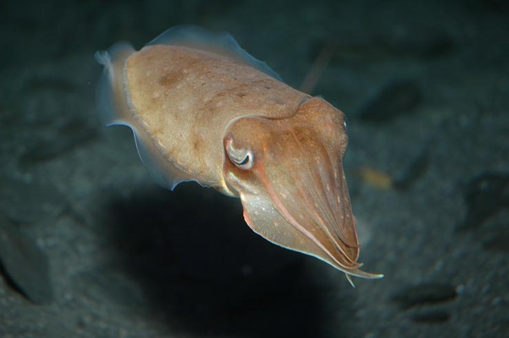 Pt Lowly - Breeding ground of the giant cuttlefish