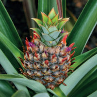 Bromelina Enzima proteolitico presente nell'ananas Comosus (sopratutto nel gambo) della famiglia delle Bromeliaceae. Ha un'azione  antinfiammatoria, analgesica, antiedematosa e fibrinolitica.