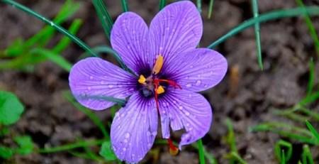 fiore zafferano viola stigmi