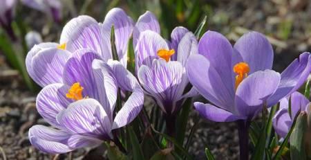 prato fiori zafferano