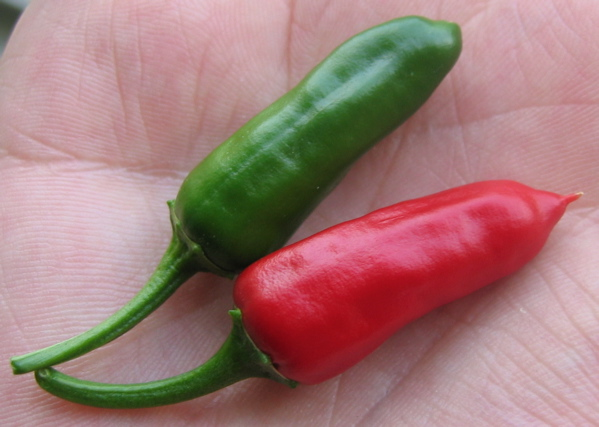 chillies fresh from the plant