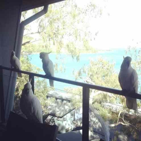 cockatoos on Hamilton Island