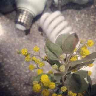 7. Dead or dying plant. Wattle dying in a jar on my kitchen bench alongside a few dead lightbulbs I need to buy replacements for. #realityaday #vignettesfortheunfashionable