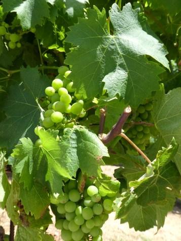 Grapes at Vigne Surrau