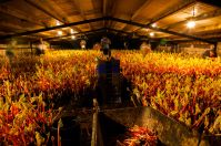 Picking rhubarb, Yorkshire