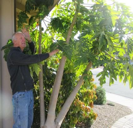 Kids Organic Papaya Tree  Cooking Magic for Kids