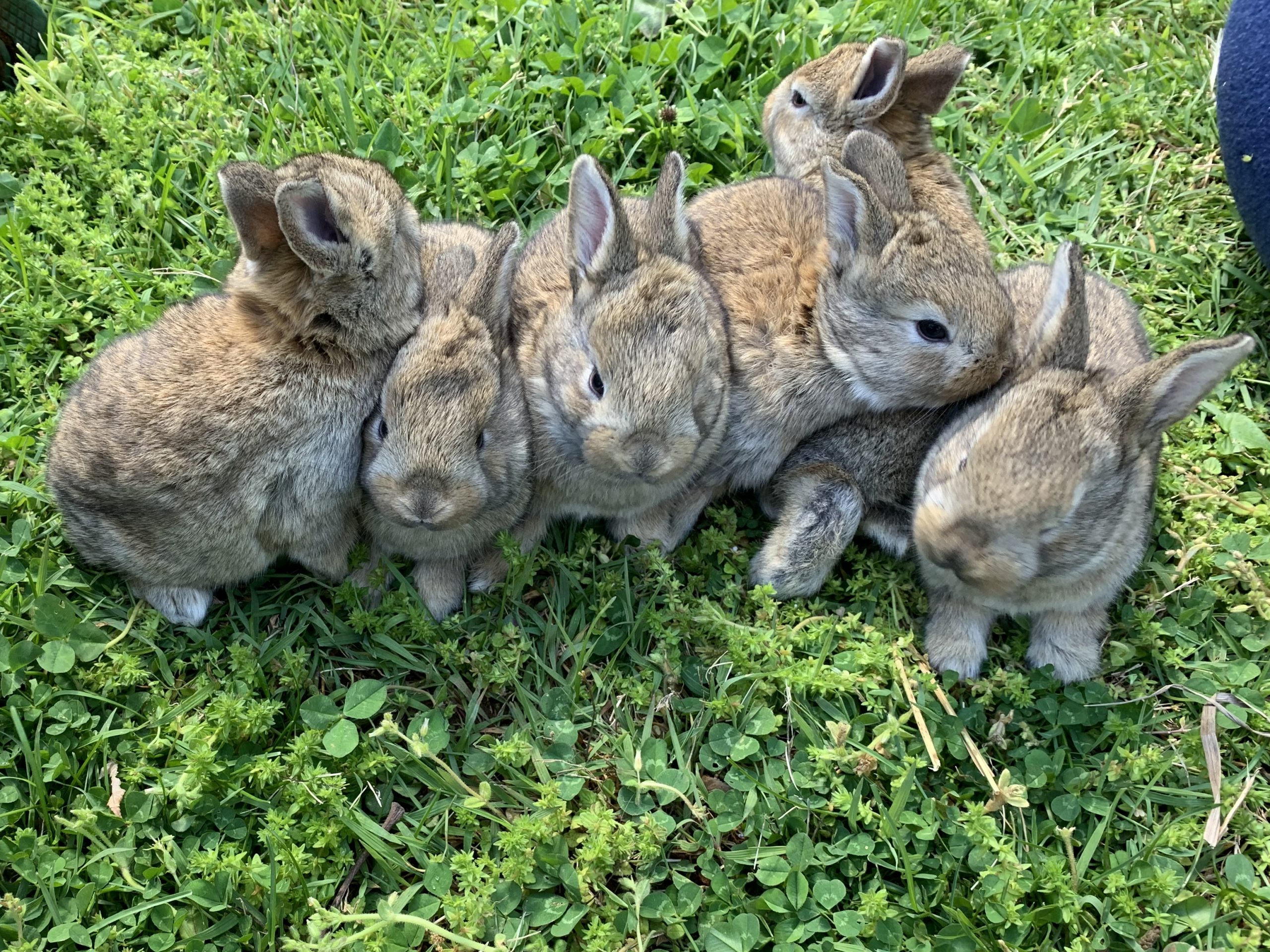 Five bunnies huddled in the grass