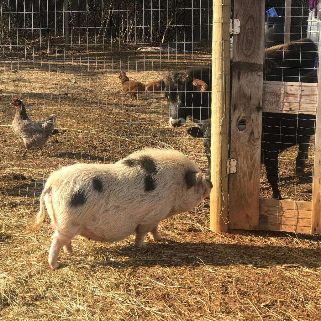 Pig at gate with cow and chicken