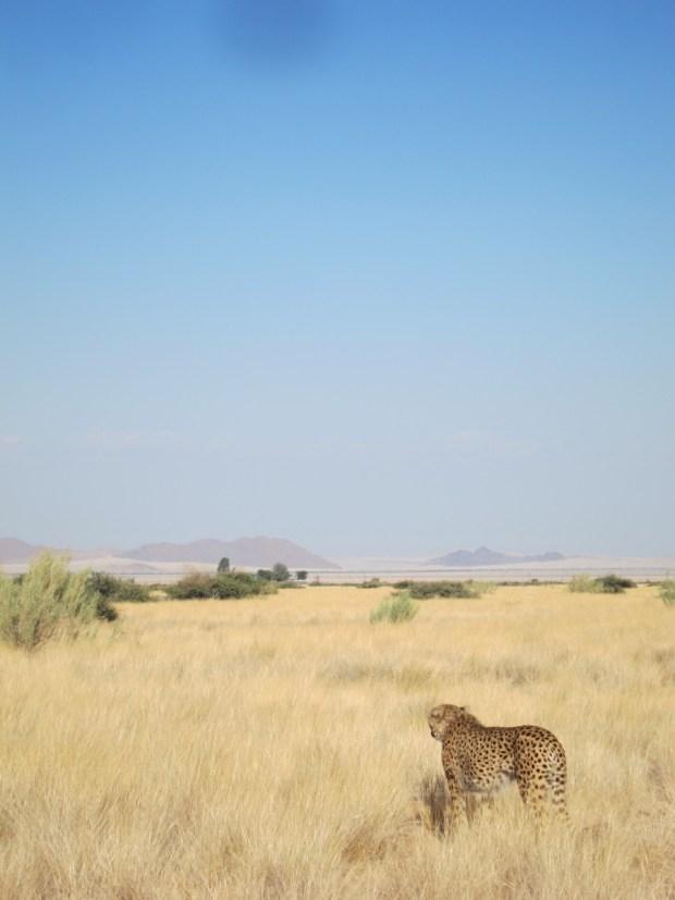 Cheetah safari africa
