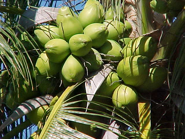 Our Green Coconuts Fresh From The Tree