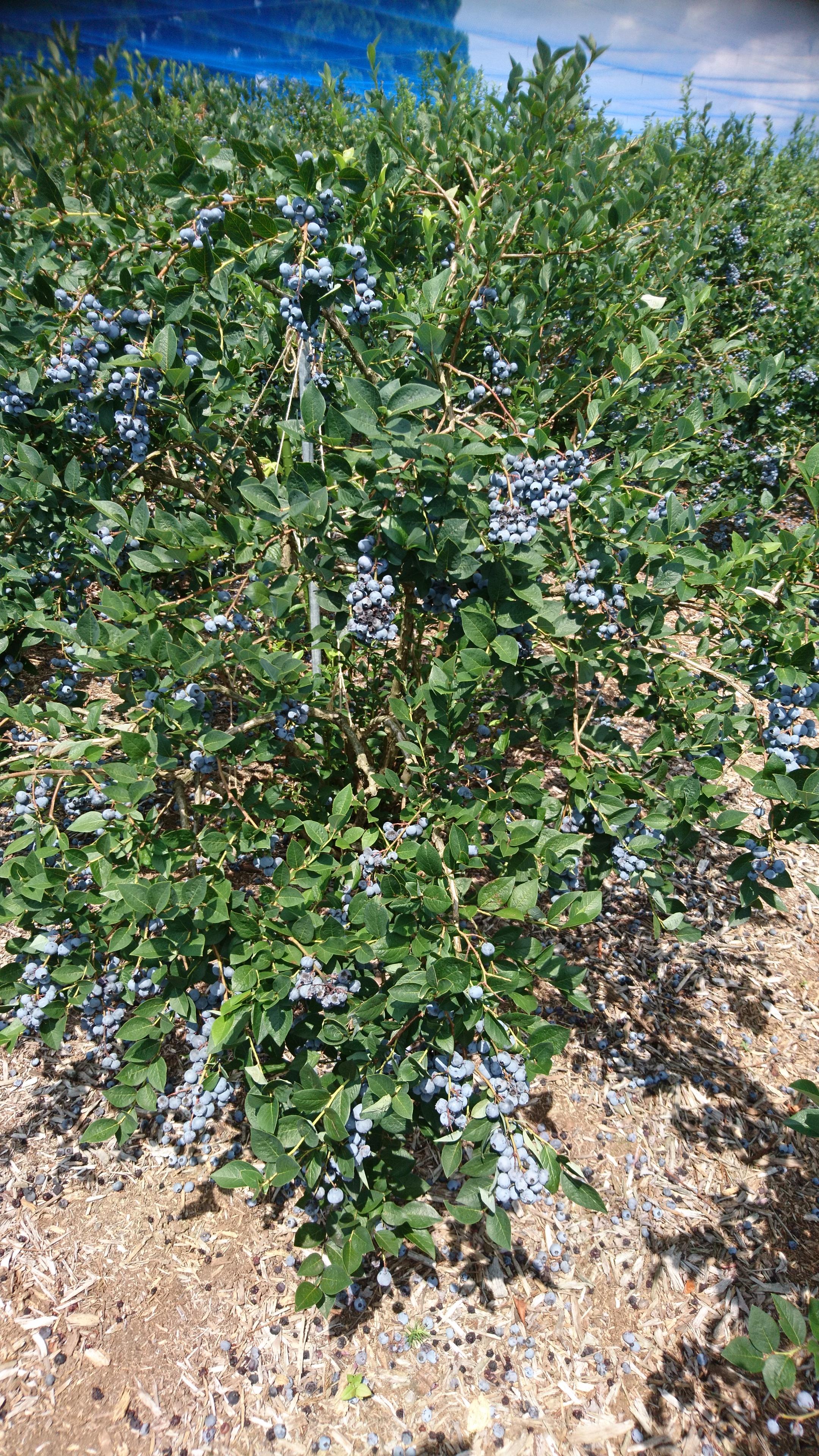 ブルーベリー,武藤農園みづきブルーベリー,能登町,ブルーベリーの木