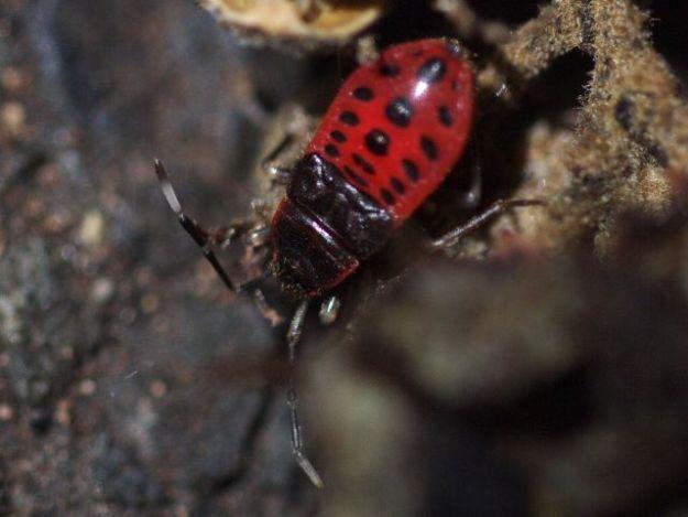 P1170175ヒメホシカメムシ幼虫-SP-t1800w-s640w