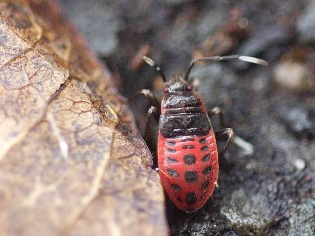 P1160993ヒメホシカメムシ幼虫-SP-t1800w-s640w