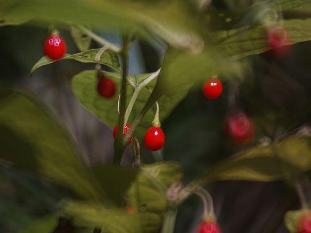 ナス科の植物